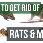 How to Get Rid of Rats and Mice Guaranteed
